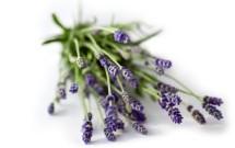 Lavender c Paul Debois main.jpg